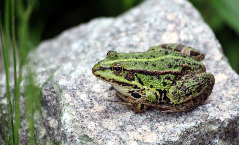 Green pond frog. Pelophylax kl. esculentus, or green pond frog; a natural hybrid. Taking a sunbath stock photos