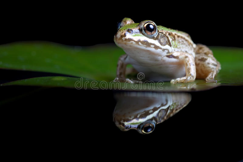 Green pond frog reflection water lily surface. Green frog Pelophylax lessonae sitting on a water lily with reflection amphibian of small pond and pools can make stock images