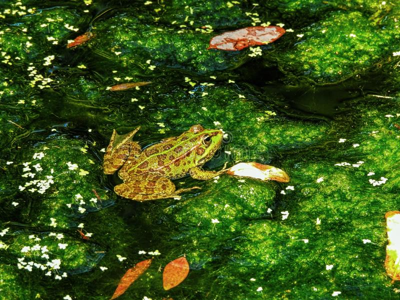 Green pond frog reflection water lily surface. Frog in Pond. stock photo