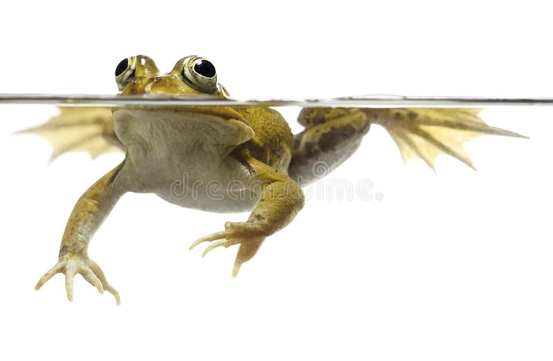 Green pond frog swimming isolated on white stock images