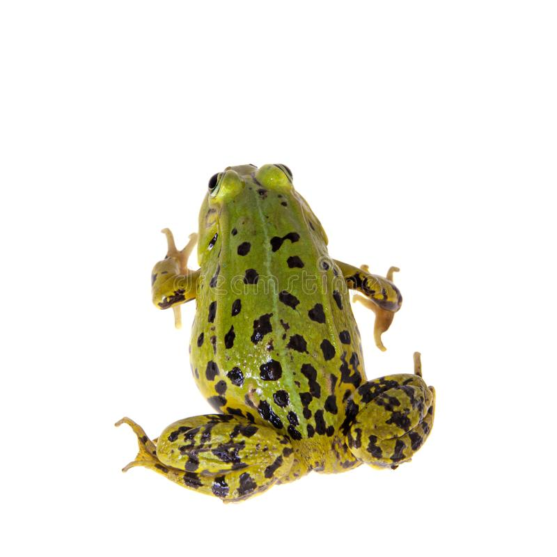Green Pool Frog on white, Pelophylax lessonae. Pool frog isolated on white background, Pelophylax lessonae royalty free stock photography