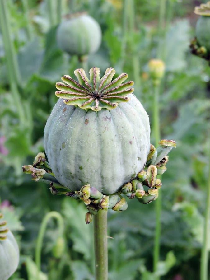 Green poppy head. In garden ,Lithuania stock photos
