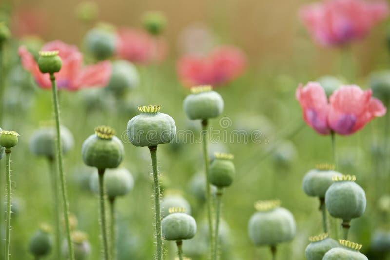 Download Green poppyheads stock photo. Image of poppy, nature - 26918602