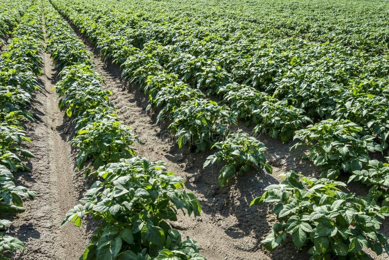 Green Potato Field On Farmland At Sunny Day royalty free stock images