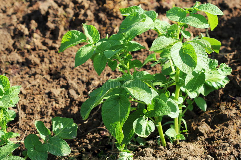Green potato plant. Leaf of vegetable. Organic food agriculture in garden, field or farm stock photography