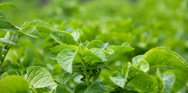 Green potato plant. royalty free stock photo