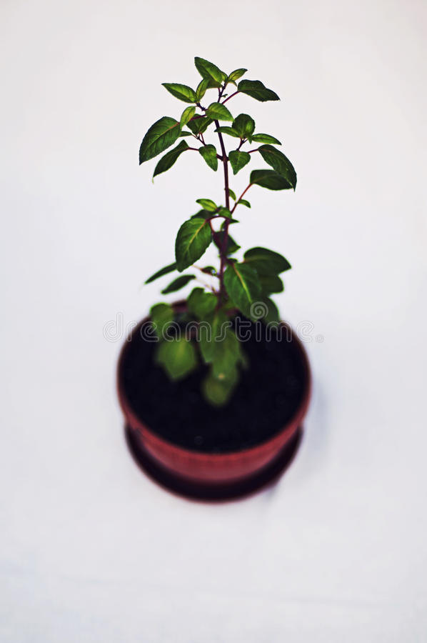 Green potted plant isolated on white background. Studio image of royalty free stock photography