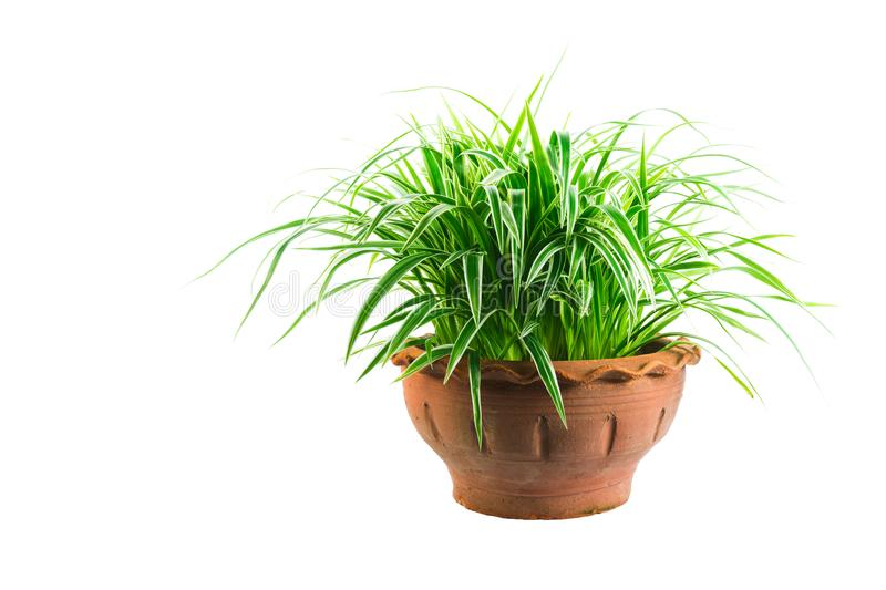 Green potted plant, trees in the cement pot isolated on white ba. Ckground royalty free stock images