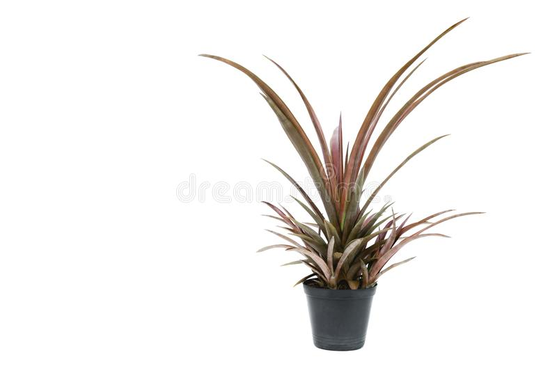 Green potted plant, trees in the cement pot isolated on white ba stock images