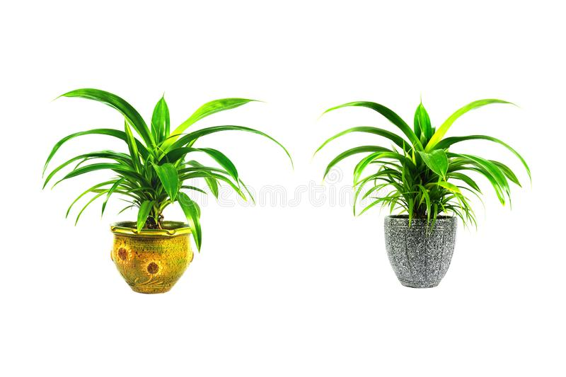 Green potted plant, trees in the cement pot isolated on white background.  royalty free stock photo