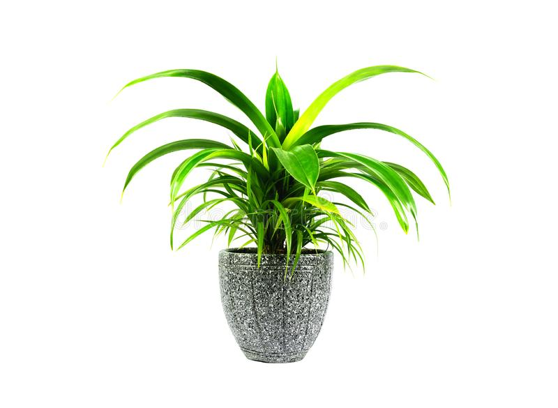 Green potted plant, trees in the cement pot isolated on white background.  royalty free stock photos