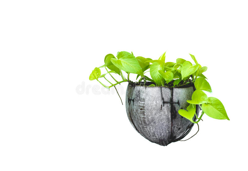 Green potted plant, trees in the coconut shell isolated on white stock image