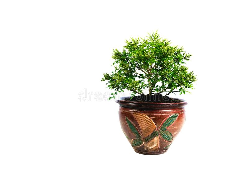 Green potted plant, trees in the pot isolated on white royalty free stock images