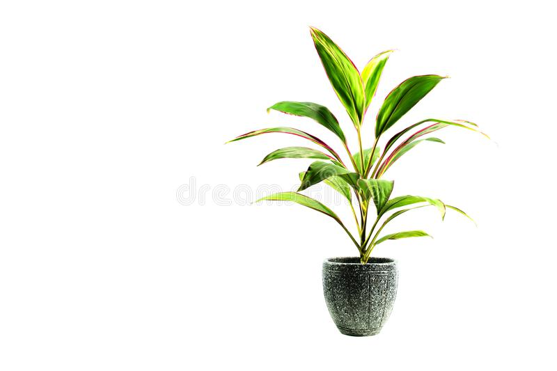 Green potted plant, trees in the pot isolated on white royalty free stock image