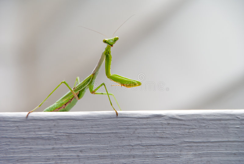 Green Praying Mantis Stock Images