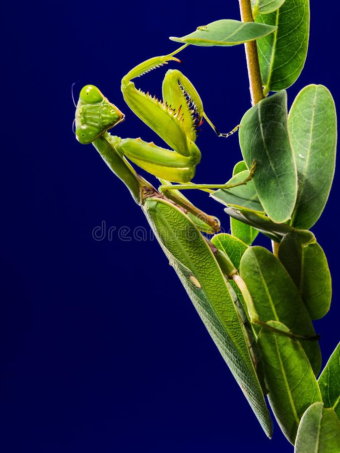 Green Praying Mantis On Green Leaf Free Public Domain Cc0 Image