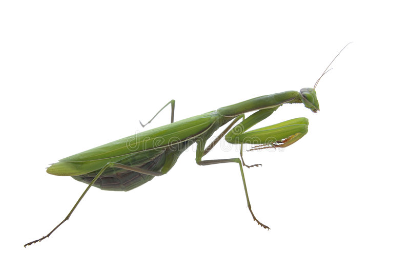 Green praying mantis insect royalty free stock images