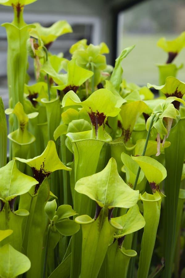 Green predator plant. Grow in the garden stock images