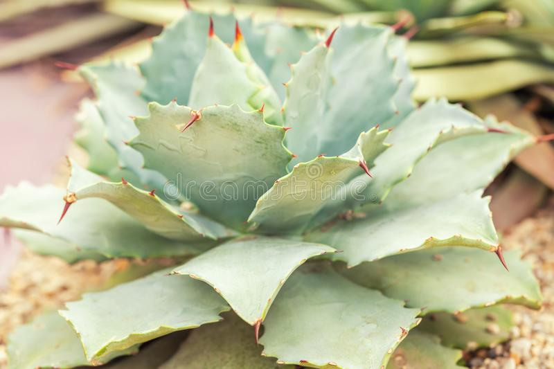 Green prickly cactus with flat leaves. Green prickly cactus with flat leaves, closeup. succulent flower stock images
