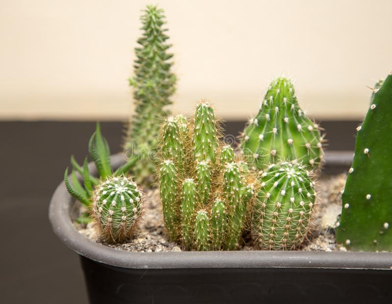 Green prickly cactus in the home stock photography