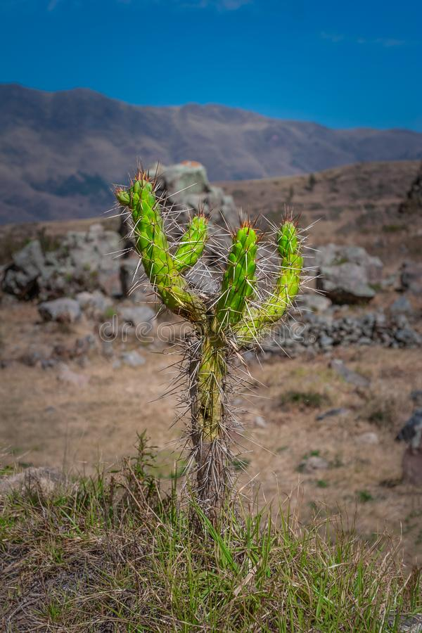 Green prickly Cactus in the peruvian mountains. royalty free stock photo