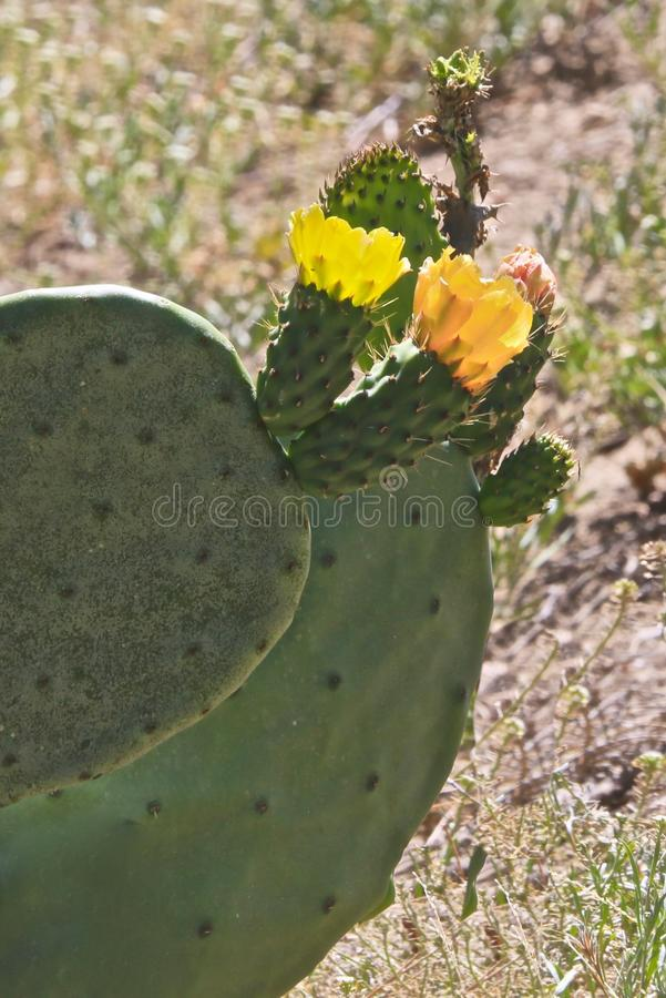 Prickly pear cactus flower blossoms. Green prickly pear cactus with yellow flower blossoms in California stock image