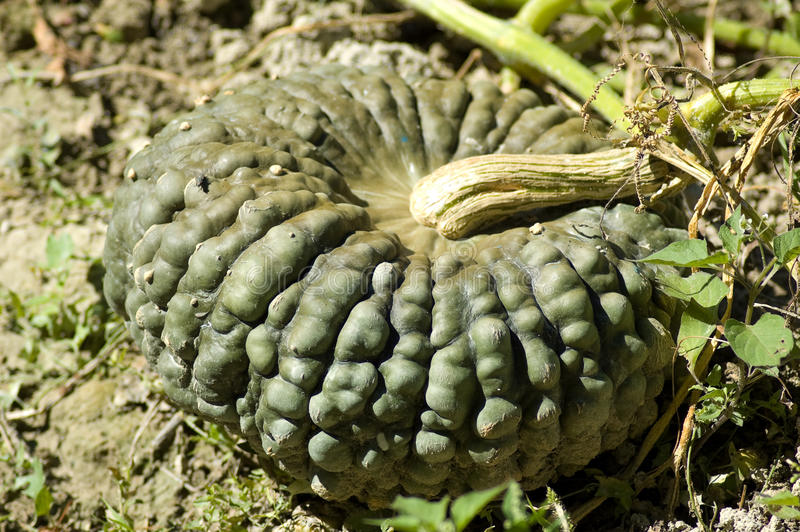 Green pumpkin. Growing in the orchard royalty free stock photo