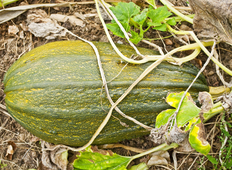 Green pumpkin. In a garden stock image