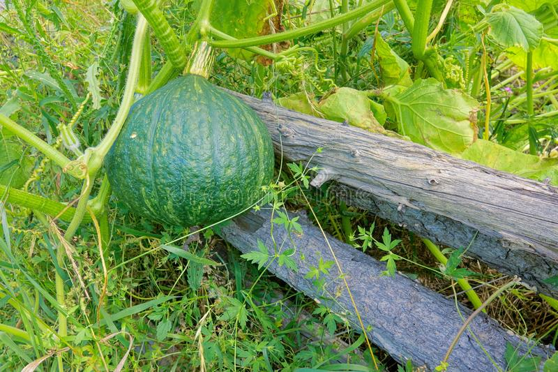 Green pumpkin. The green pumpkin grows on stem royalty free stock photos