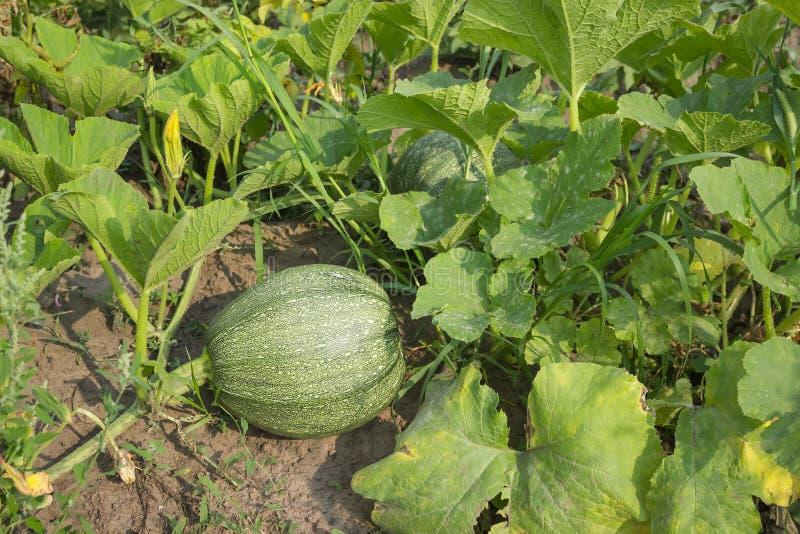 Green pumpkin marrow plant on stem growing in garden stock photos