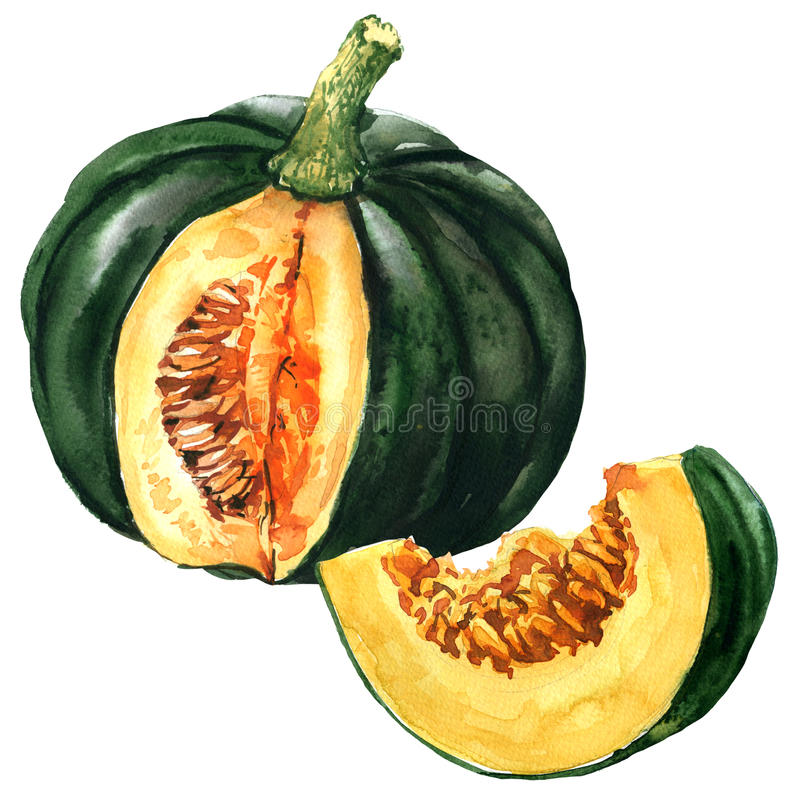 Green pumpkin with slice, autumn vegetable isolated, watercolor illustration on white. Background stock illustration