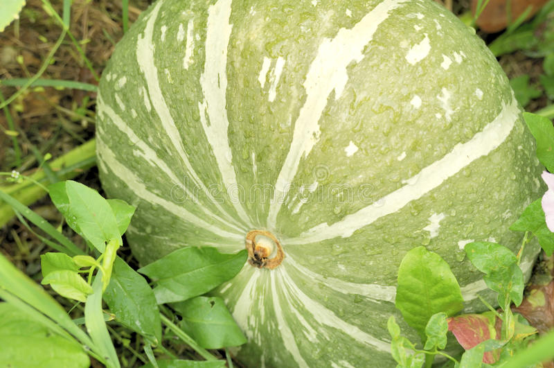 Green Pumpkin Growing On The Vegetable Patch Stock Image