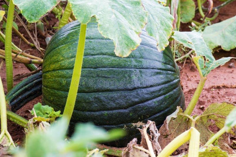 Green Pumpkin Growing. In a farmer's pumpkin patch in Southwest Virginia, USA royalty free stock image