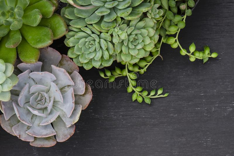 Green and Purple Echeveria Succulent Plant Top Left Border Frame Black Board Background 库存图片