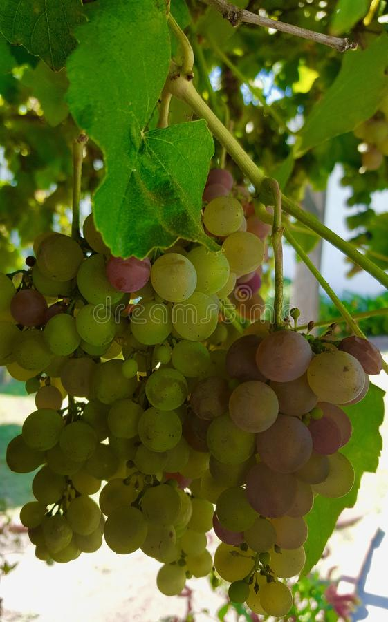 Green and Purple Grapes Hanging from Vine. Fresh Green and Purple Grapes Hanging from Vine in Garden royalty free stock image