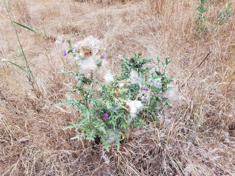 Green and purple thistle weed in brown grass. With fuzz royalty free stock image