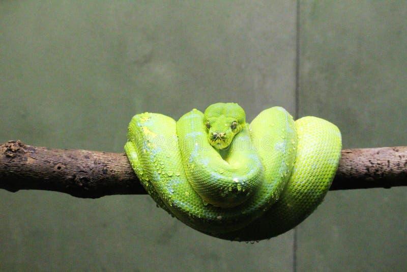 Green Python. Amazing picture of an Green Python, taken at Toronto Zoo royalty free stock photos