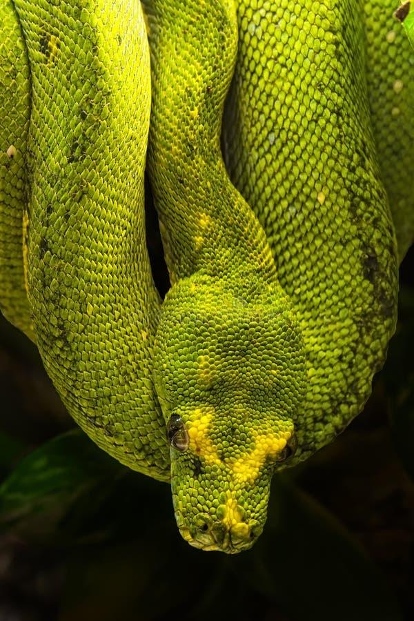 Download Green Python, Morelia Viridis Stock Image - Image of animal, wildlife: 20564327