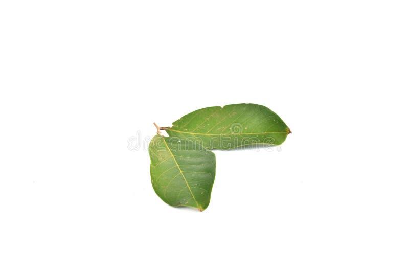 Green rambutan leaves isolated on white background stock photo