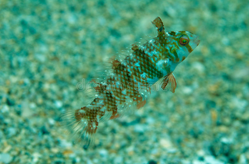 Green Razorfish. Xrichtys splendens, picture taken in Broward County, Florida stock images