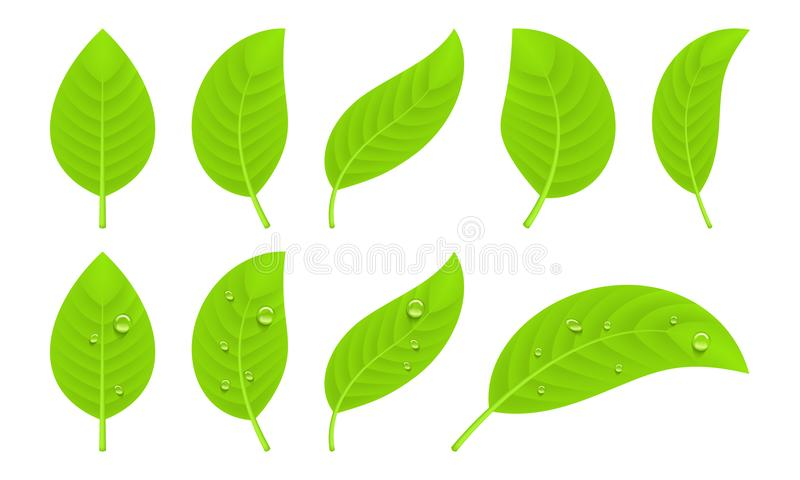Green realistic leaves. Set of green realistic leaves with water drops vector illustration