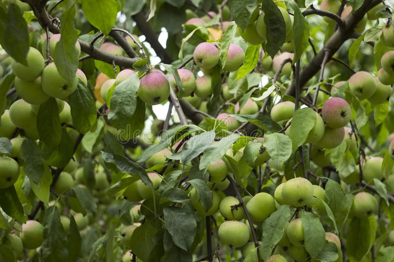 Green red apples growing on a branch on the tree, many fruits. Green red apples growing on a branch on the tree, many tasty fruits royalty free stock photo