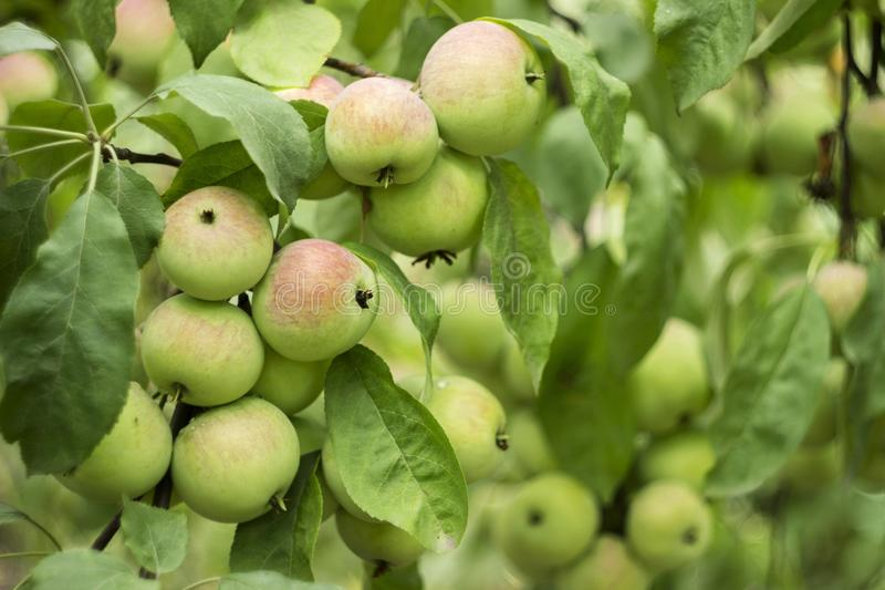 Green red apples growing on a branch on the tree, many fruits. Green red apples growing on a branch on the tree, many tasty fruits royalty free stock images