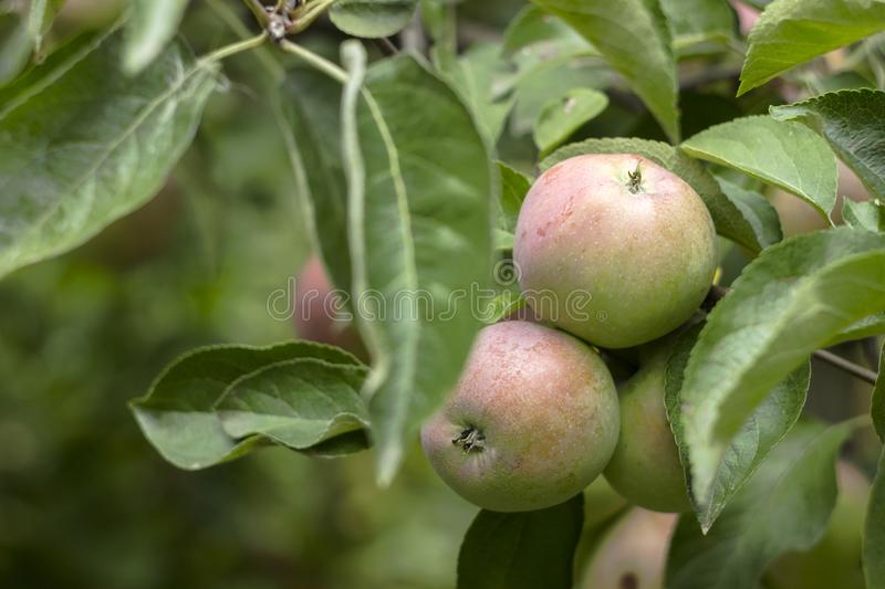 Green red apples growing on a branch on the tree, many fruits. Green red apples growing on a branch on the tree, many tasty fruits stock image