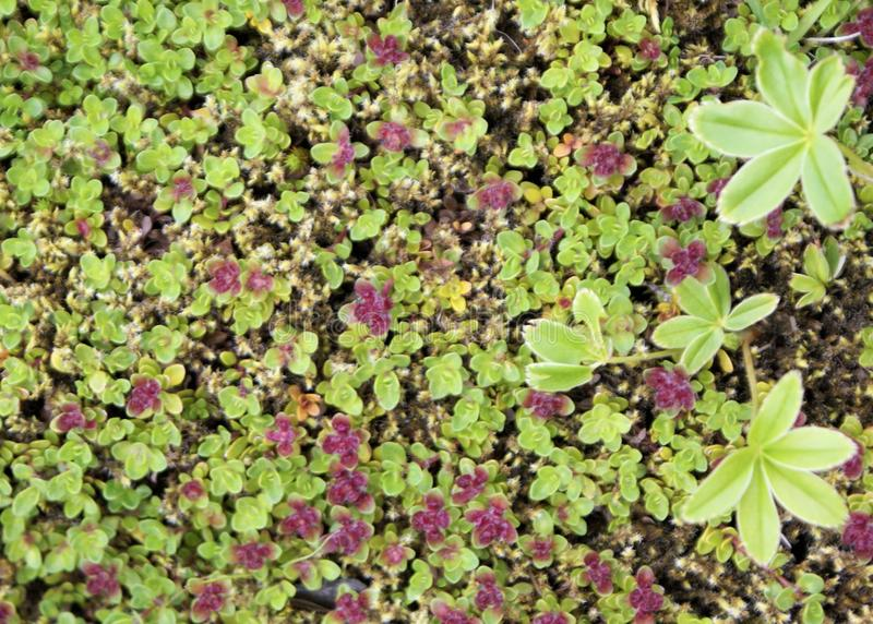 Green and red groundcover. Small leaved groundcover blankets the soil surface in the Pacific northwestern united states stock image
