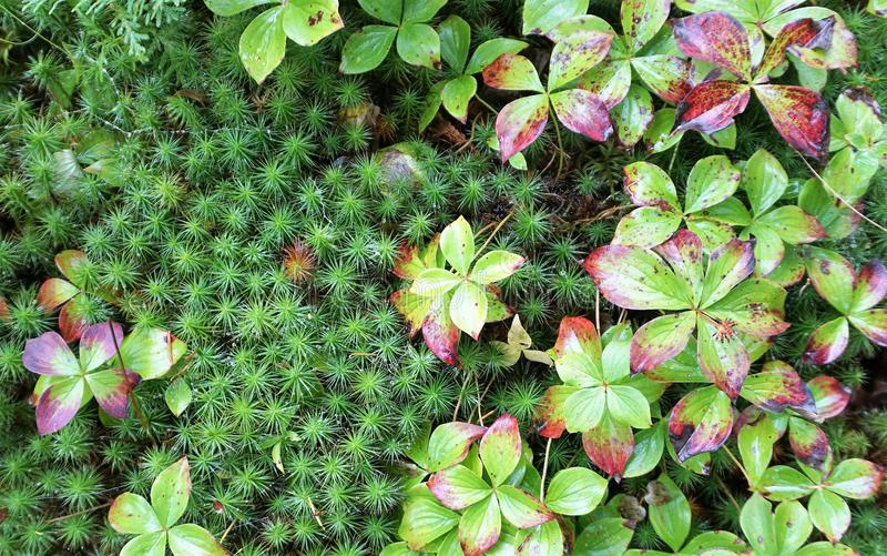 Green and red groundcover. Small leaved groundcover blankets the soil surface in the Pacific northwestern united states stock photo