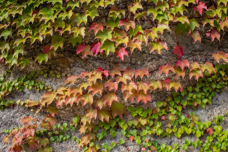 Green and red ivy leaves on grey wall. Colorful autumn foliage on stone wall. Fall nature. royalty free stock photos