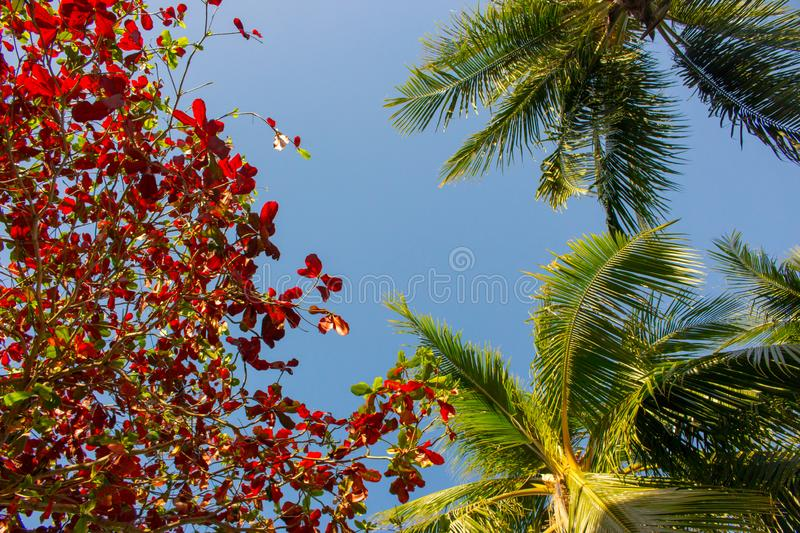 Green and red leaves and palm trees on blue sky background. Colorful tree foliage. Autumn nature. Summer tropical garden. royalty free stock images