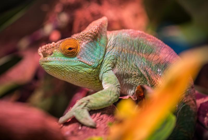 Green and Red Lizard stock photo
