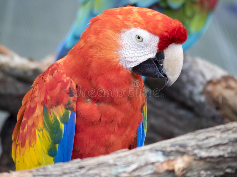 Green and red macaw at Lion Country Safari, Palm Beach stock photos